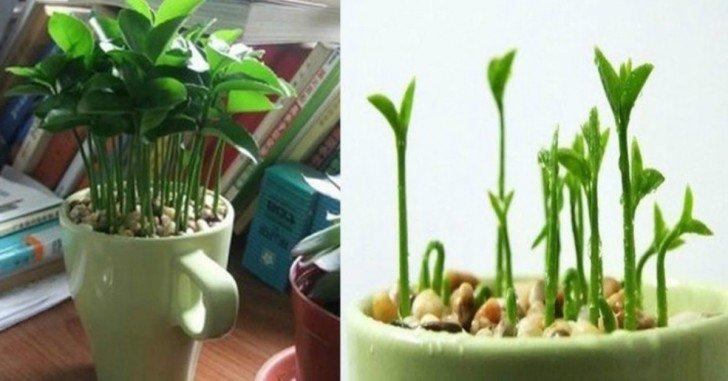 Wie man eine Zitrone in eine Tasse pflanzt, um ein Zuhause zu haben, das immer duftet